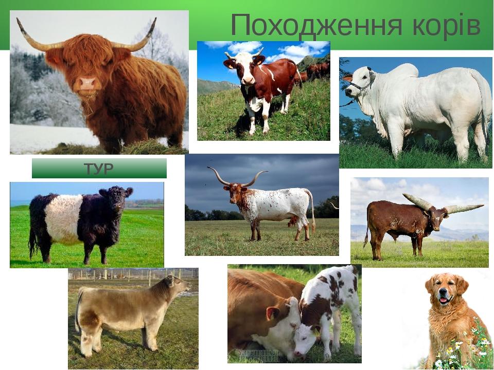 Походження корів ТУР