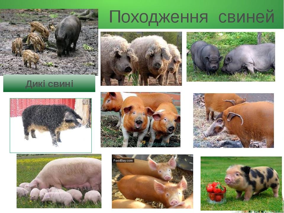 Походження свиней Дикі свині