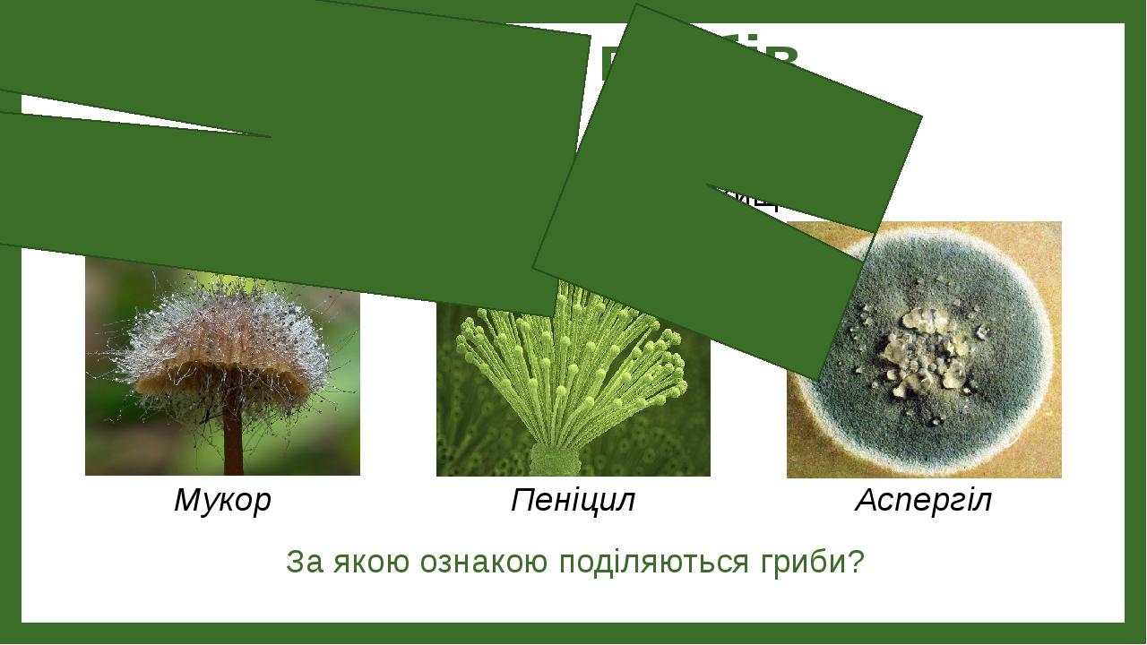 Будова грибів За якою ознакою поділяються гриби? Вищі Нижчі Пеніцил Мукор Аспергіл
