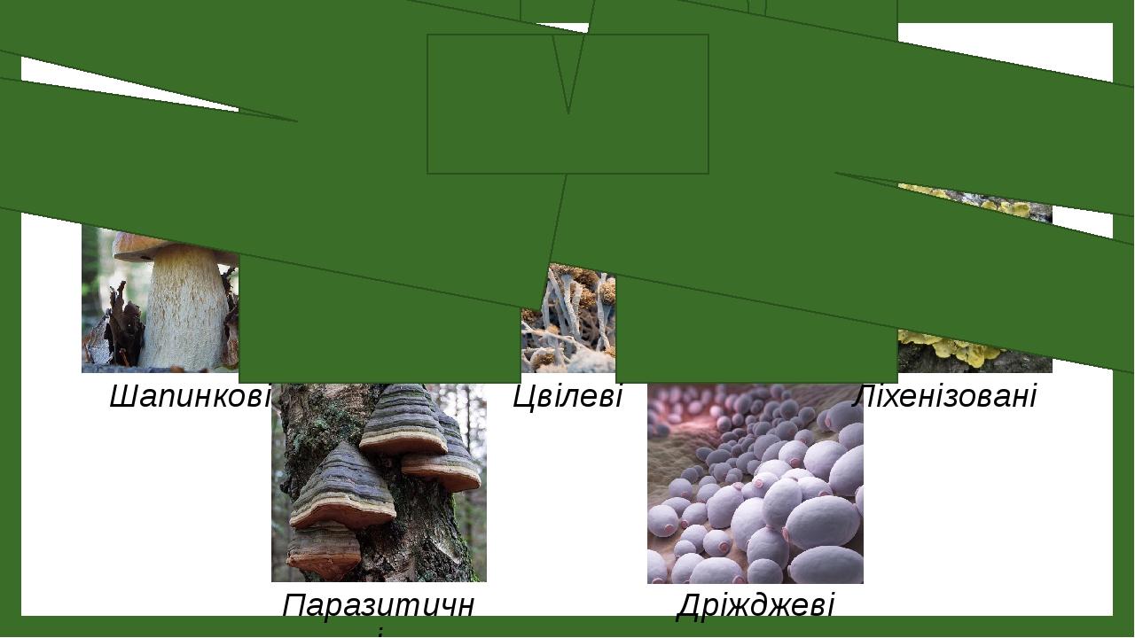 Екологічні групи грибів Шапинкові Цвілеві Ліхенізовані Паразитичні Дріжджеві
