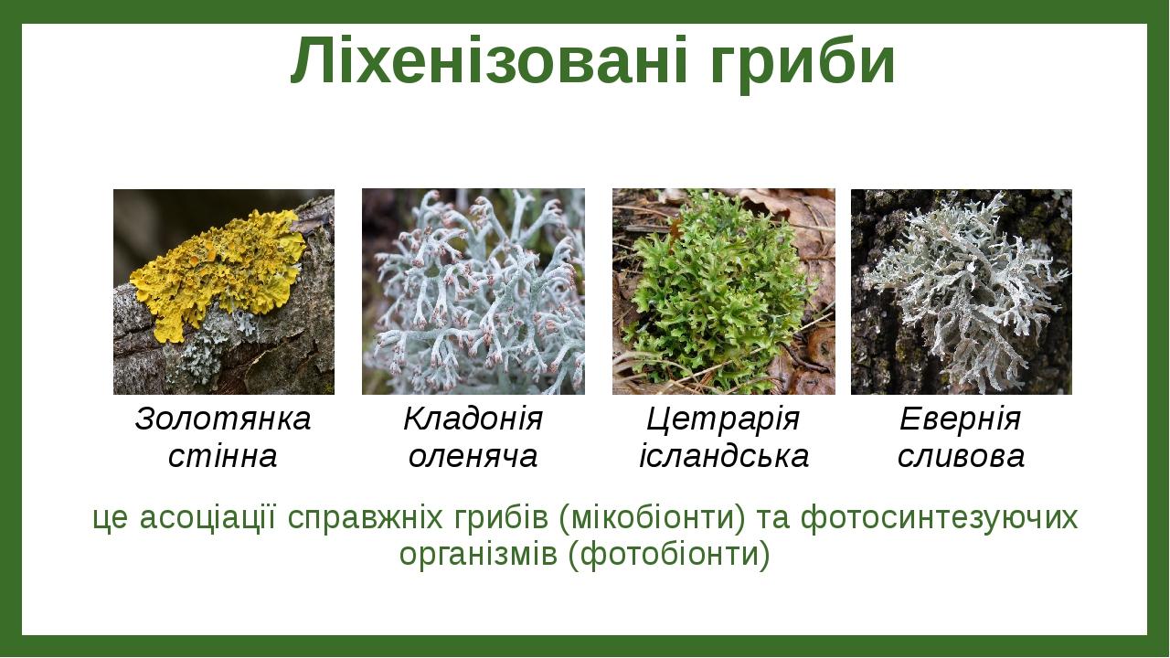 Ліхенізовані гриби це асоціації справжніх грибів (мікобіонти) та фотосинтезуючих організмів (фотобіонти) Золотянка стінна Кладонія оленяча Цетрарія...