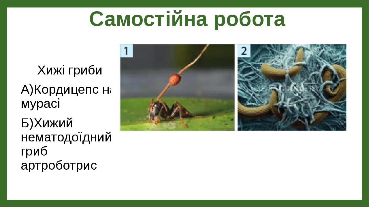 Самостійна робота Хижі гриби А)Кордицепс на мурасі Б)Хижий нематодоїдний гриб артроботрис