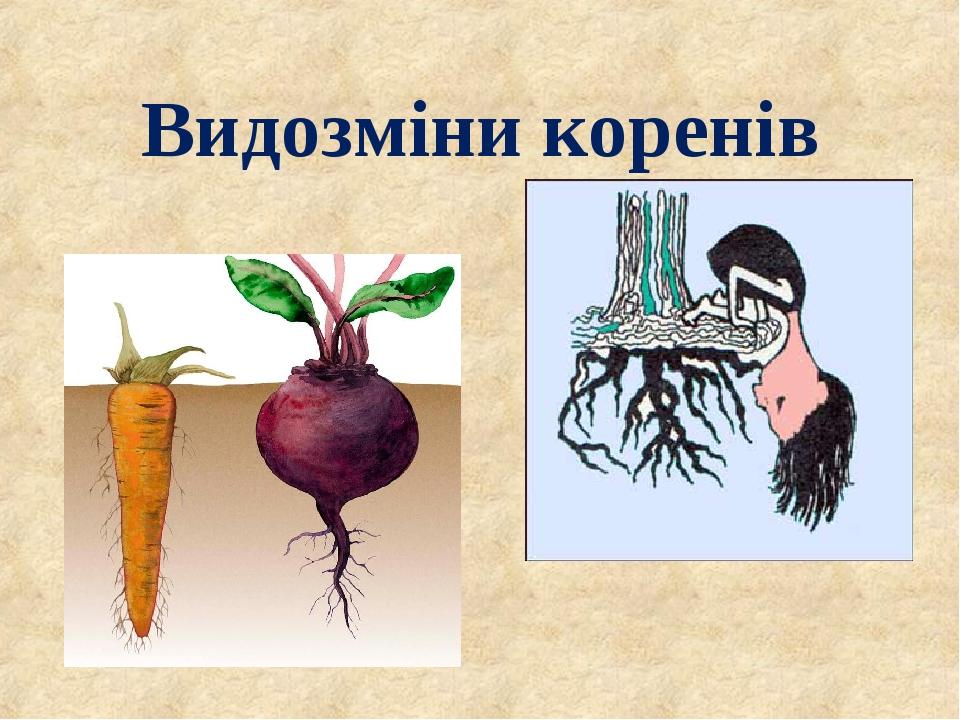 Видозміни коренів