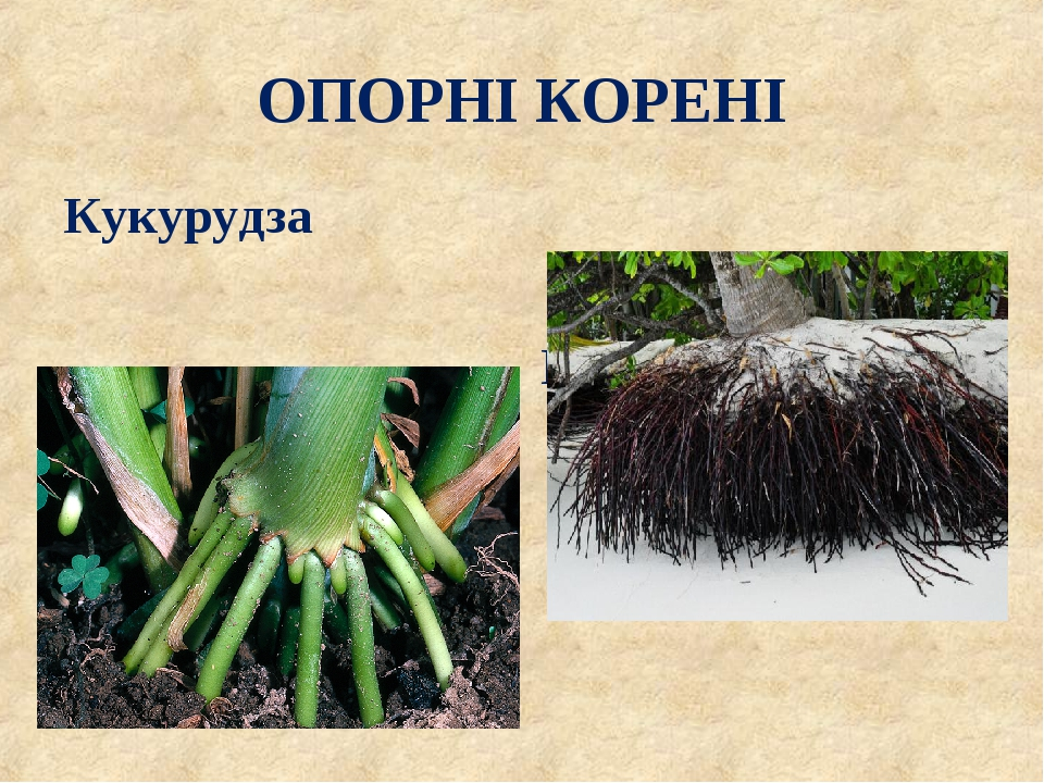 ОПОРНІ КОРЕНІ Кукурудза Пальми