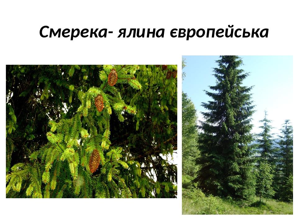 Cмерека- ялина європейська