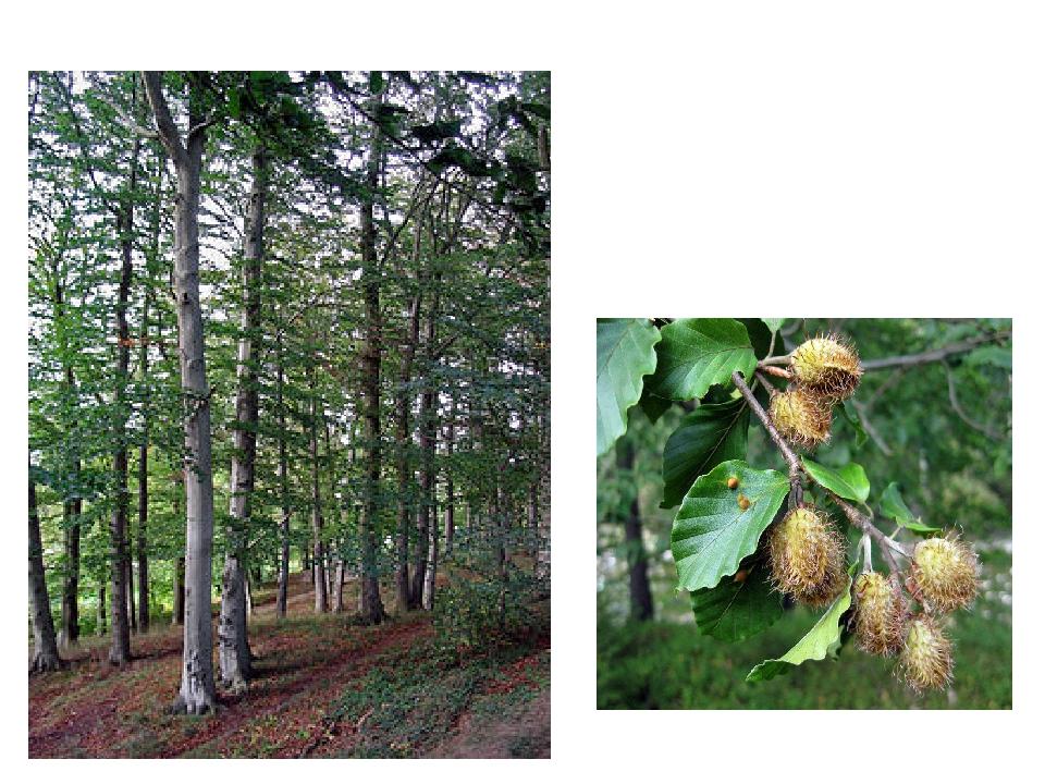 Бук лісовий