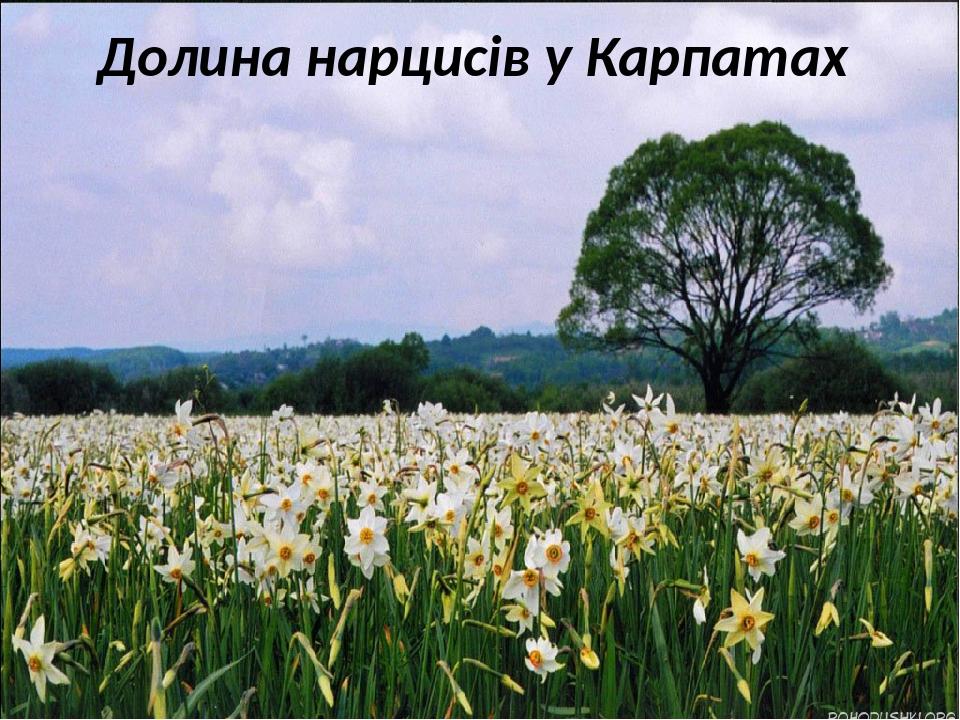 Долина нарцисів у Карпатах