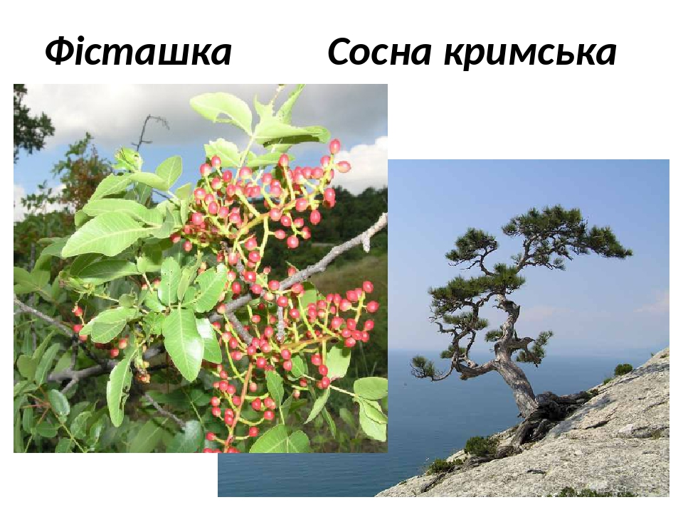 Фісташка Сосна кримська