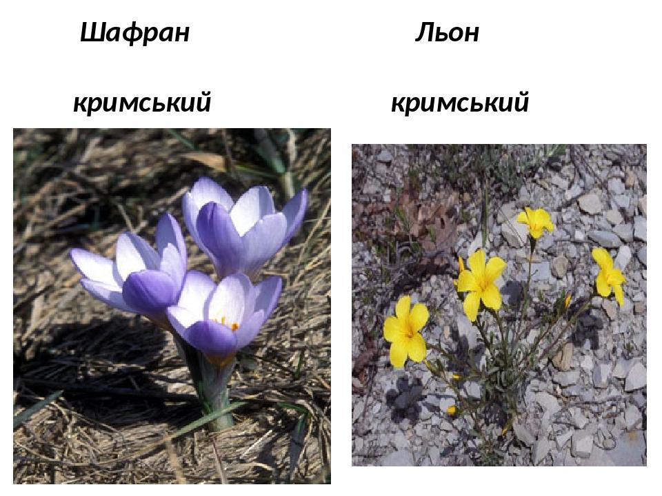 Шафран Льон кримський кримський