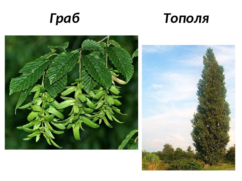 Граб Тополя