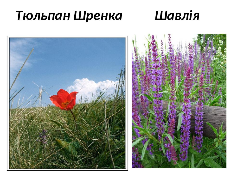Тюльпан Шренка Шавлія