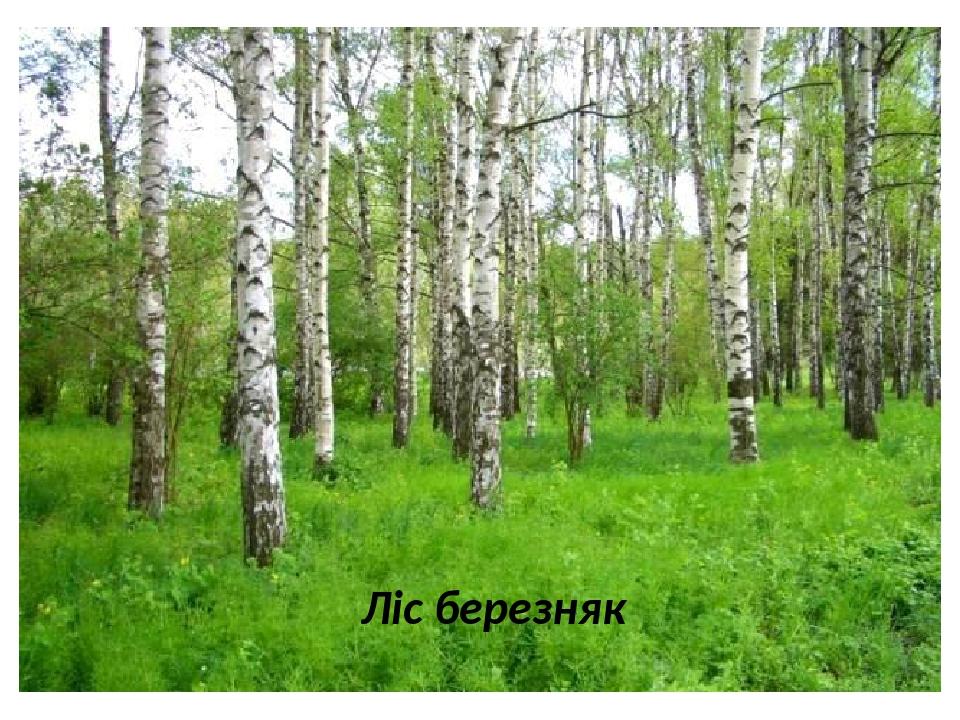 Ліс березняк