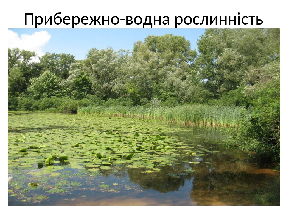 Прибережно-водна рослинність Схожа за складом на низинні трав'яні болота. Поблизу берегів водойм росте очерет, далі – осока, лепешняк, ще далі – ст...