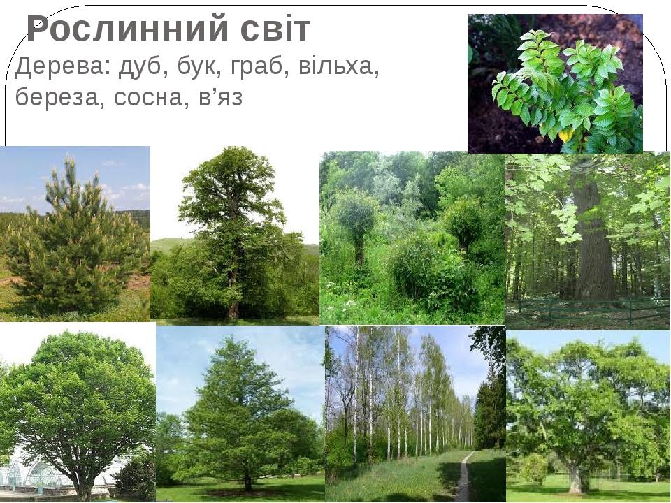 Рослинний світ Дерева: дуб, бук, граб, вільха, береза, сосна, в'яз
