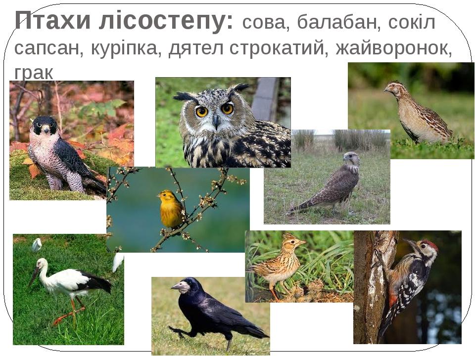 Птахи лісостепу: сова, балабан, сокіл сапсан, куріпка, дятел строкатий, жайворонок, грак