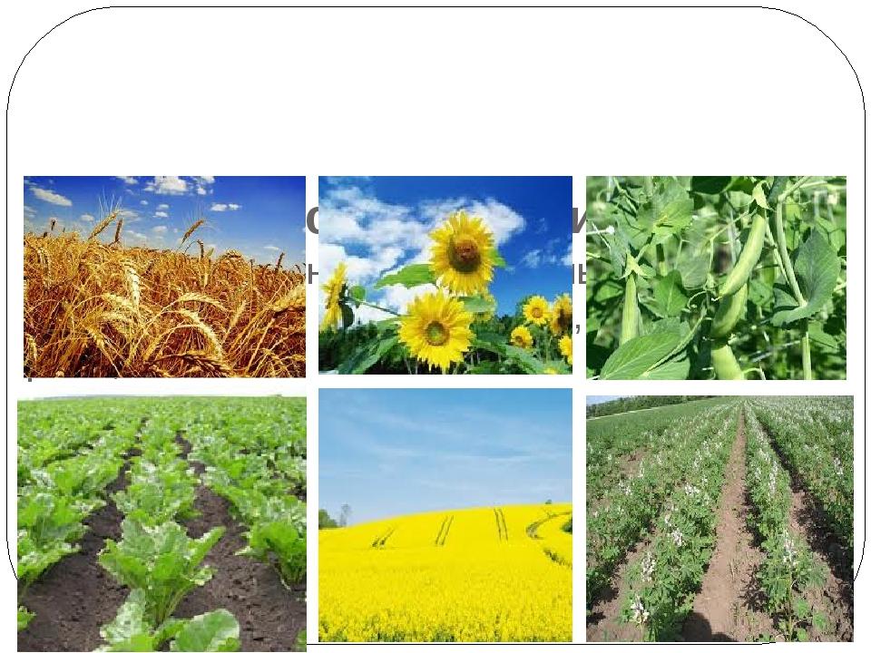 Господарське використання Вирощують: зернові, бобові культури, соняшник, цукрові буряки, картоплю, ріпак, овочі