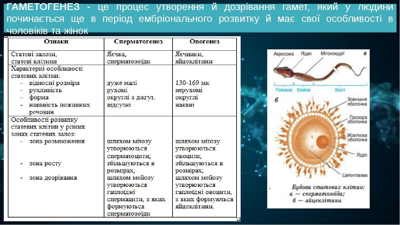 ГАМЕТОГЕНЕЗ - це процес утворення й дозрівання гамет, який у людини починається ще в період ембріонального розвитку й має свої особливості в чолові...