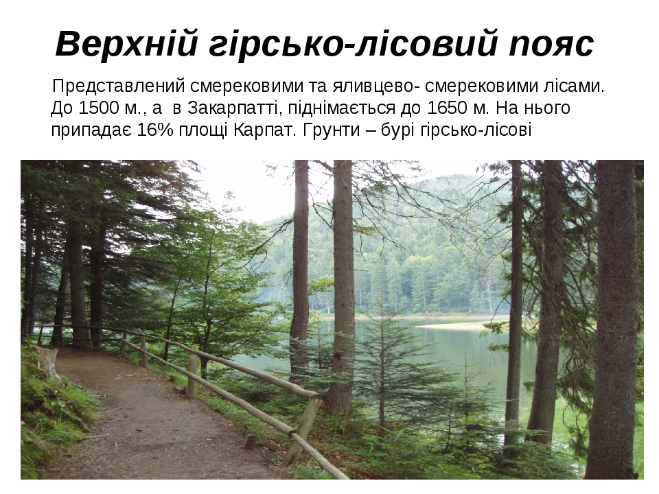 Верхній гірсько-лісовий пояс Представлений смерековими та яливцево- смерековими лісами. До 1500 м., а в Закарпатті, піднімається до 1650 м. На ньог...