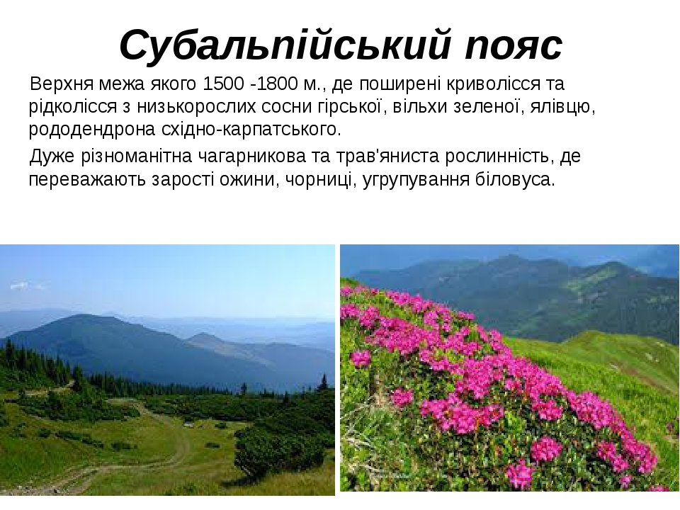 Субальпійський пояс Верхня межа якого 1500 -1800 м., де поширені криволісся та рідколісся з низькорослих сосни гірської, вільхи зеленої, ялівцю, ро...
