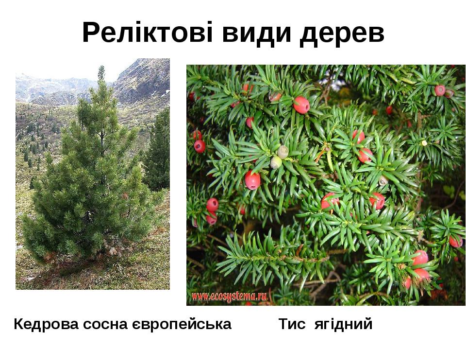 Реліктові види дерев Тис ягідний Кедрова сосна європейська