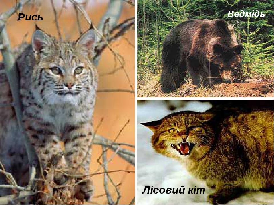 Рись Лісовий кіт Ведмідь