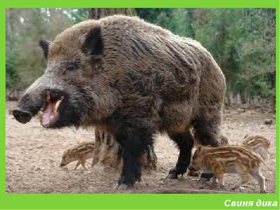 Свиня дика