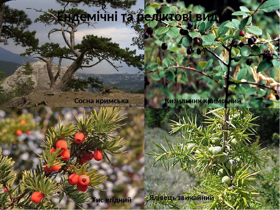 Ендемічні та реліктові види Сосна кримська Кизильник кримський Тис ягідний Ялівець звичайний