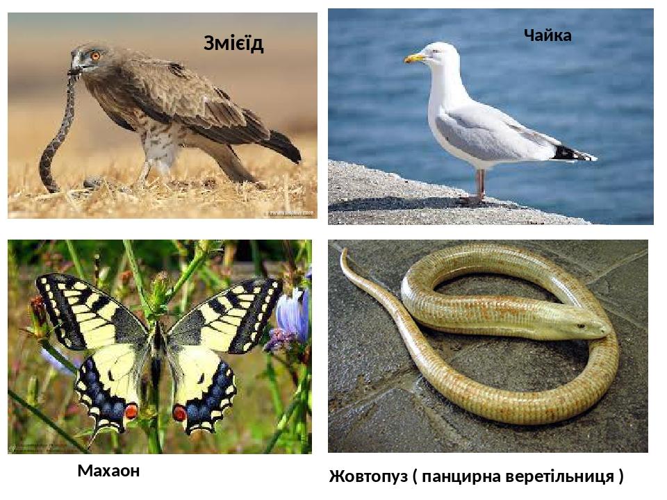 Змієїд Чайка Жовтопуз ( панцирна веретільниця ) Махаон
