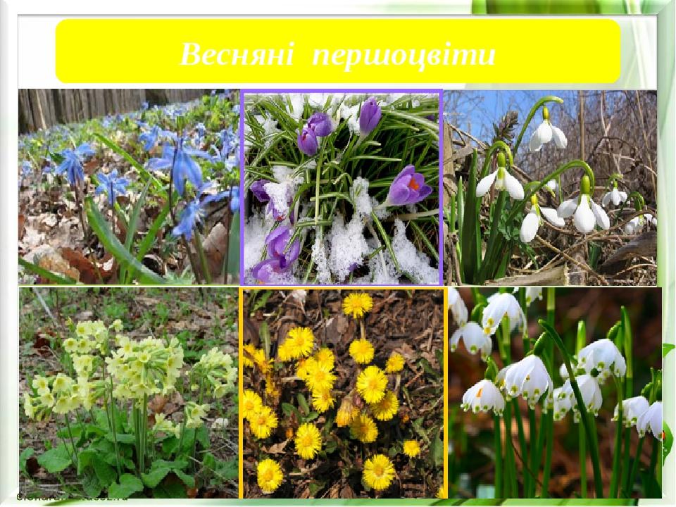 Весняні першоцвіти Весняні першоцвіти