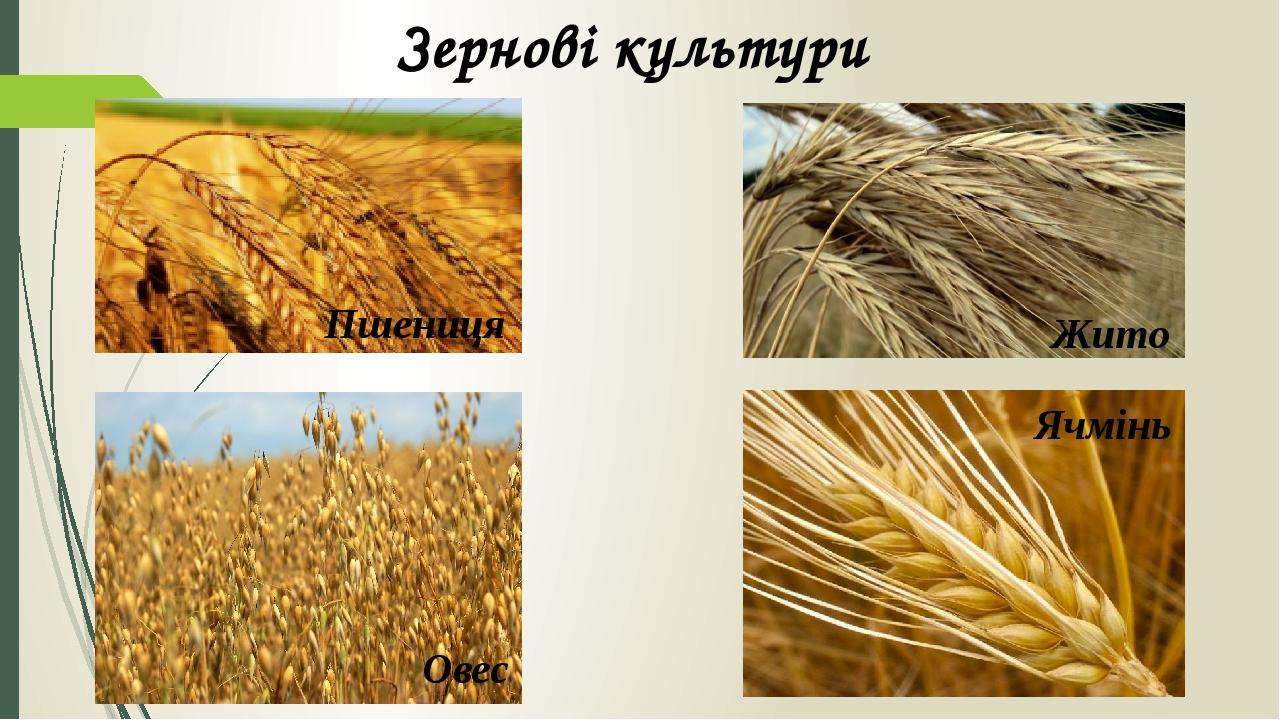 Зернові культури Пшениця Жито Овес Ячмінь