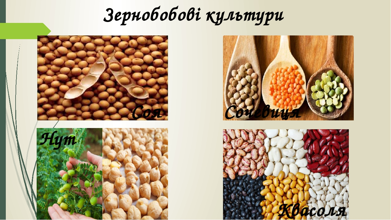Зернобобові культури Соя Сочевиця Нут Квасоля