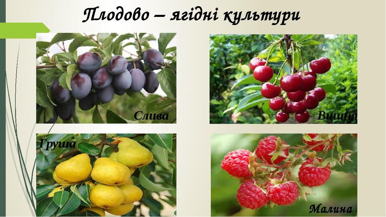 Плодово – ягідні культури Вишня Слива Груша Малина