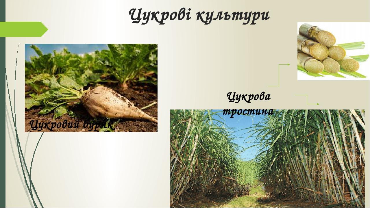 Цукрові культури Цукровий буряк Цукрова тростина