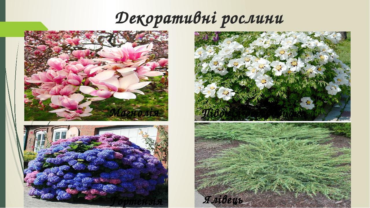Декоративні рослини Магнолія Півонія деревовидна Гортензія Ялівець