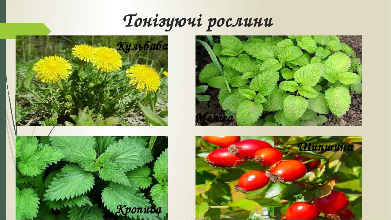 Тонізуючі рослини Кульбаба Меліса Кропива Шипшина