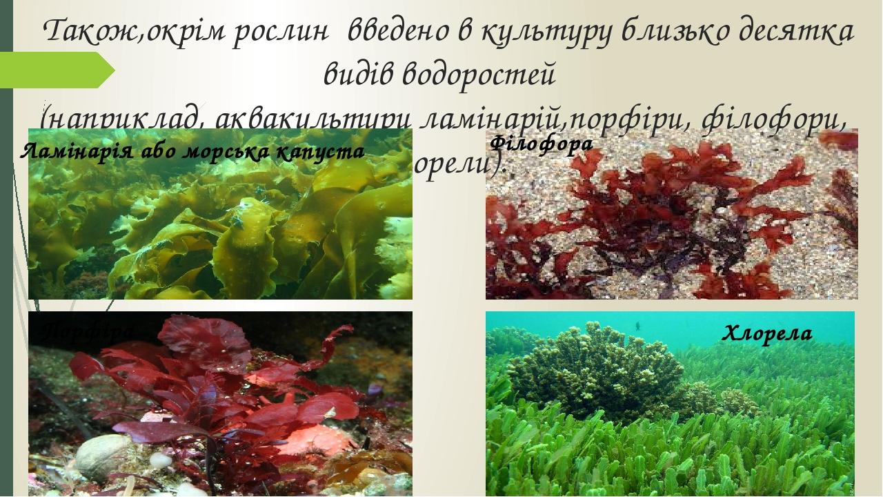 Філофора Також,окрім рослин введено в культуру близько десятка видів водоростей (наприклад, аквакультури ламінарій,порфіри, філофори, хлорели). Лам...
