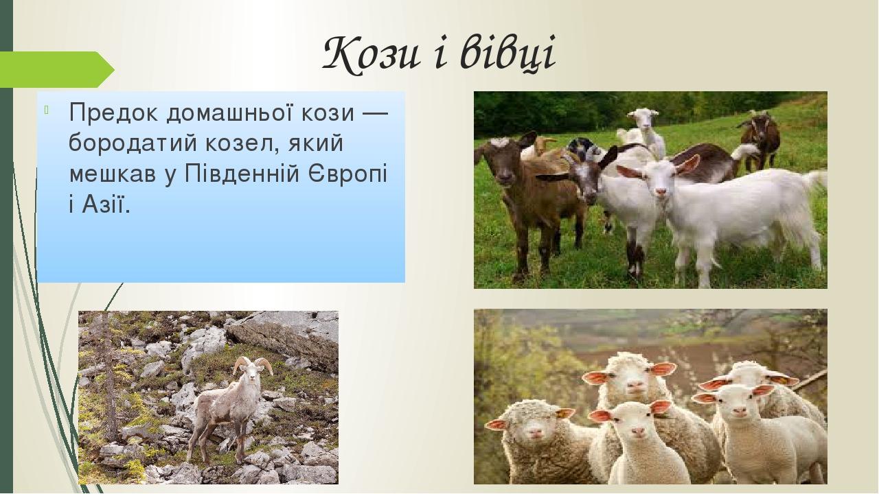 Кози і вівці Предок домашньої кози — бородатий козел, який мешкав у Південній Європі і Азії.