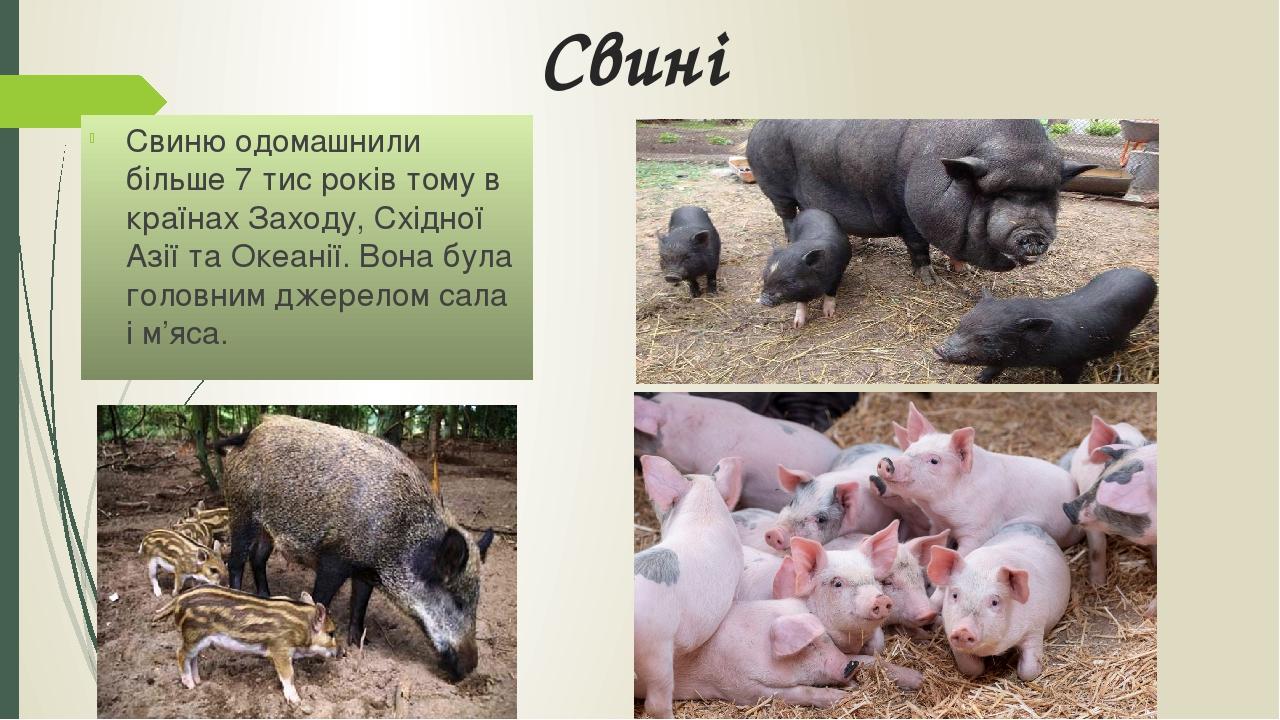 Свині Свиню одомашнили більше 7 тис років тому в країнах Заходу, Східної Азії та Океанії. Вона була головним джерелом сала і м'яса.