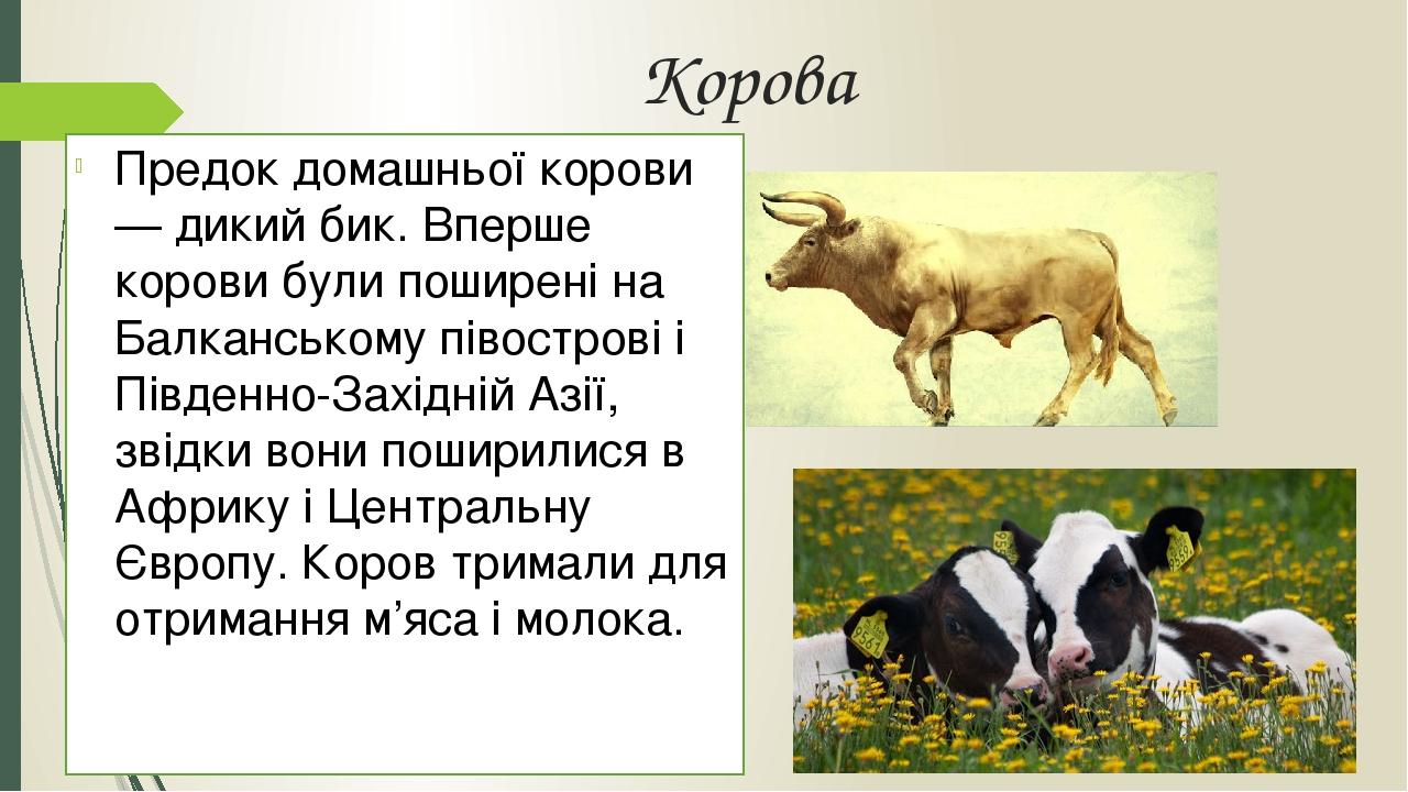 Корова Предок домашньої корови — дикий бик. Вперше корови були поширені на Балканському півострові і Південно-Західній Азії, звідки вони поширилися...