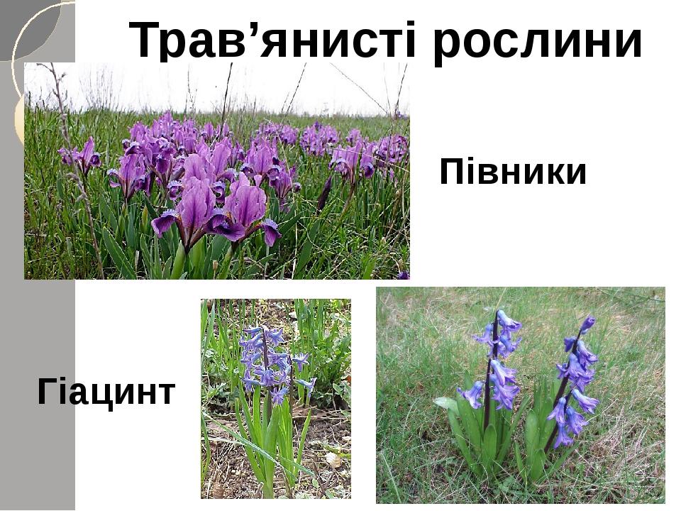 Трав'янисті рослини Півники Гіацинт