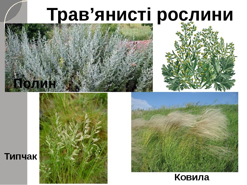 Трав'янисті рослини Полин Ковила Типчак
