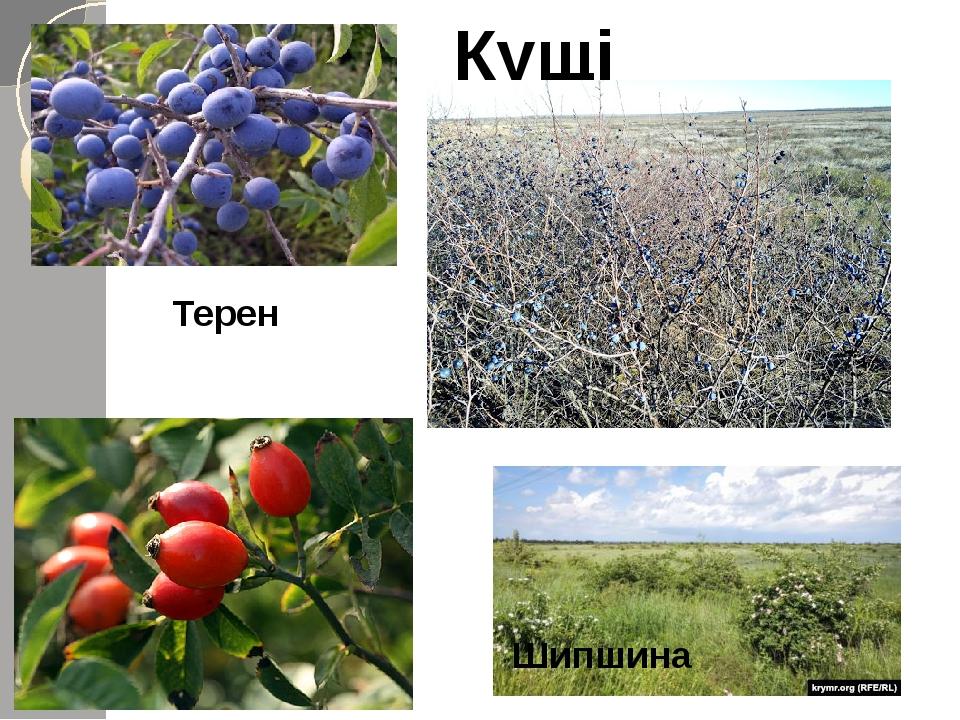 Кущі Терен Шипшина
