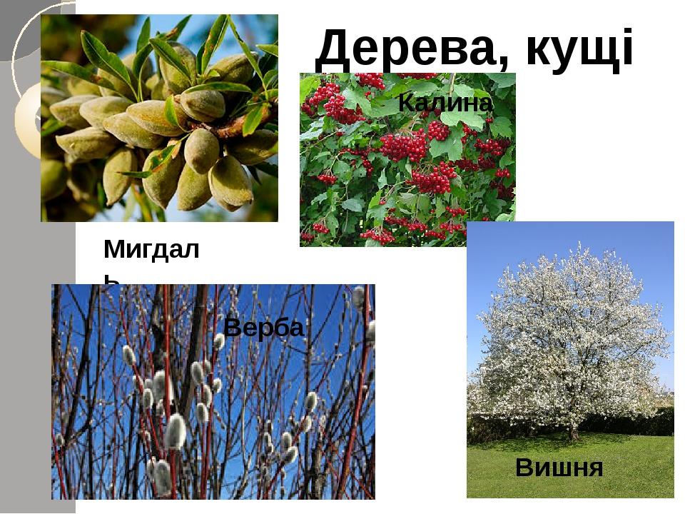 Дерева, кущі Мигдаль Калина Верба Вишня