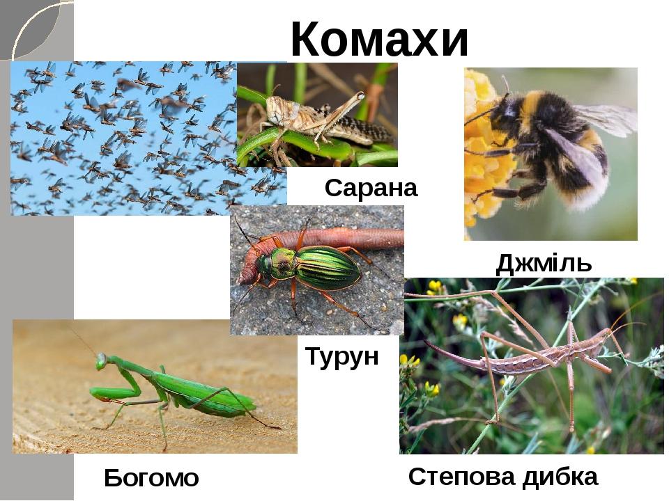Комахи Джміль Сарана Богомол Степова дибка Турун