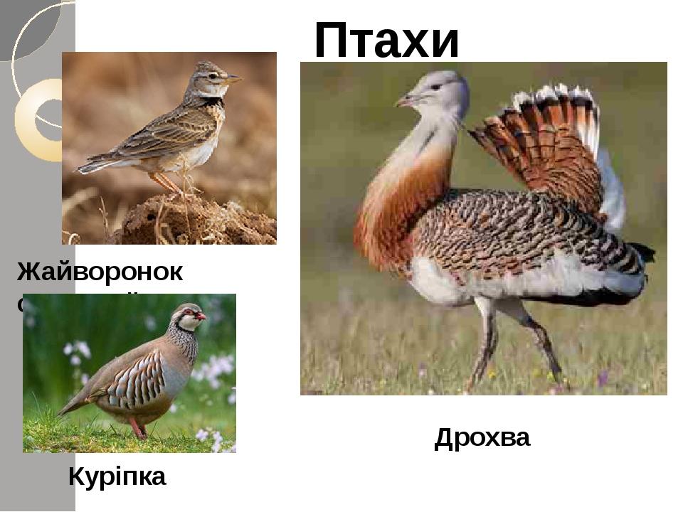 Птахи Жайворонок степовий Дрохва Куріпка