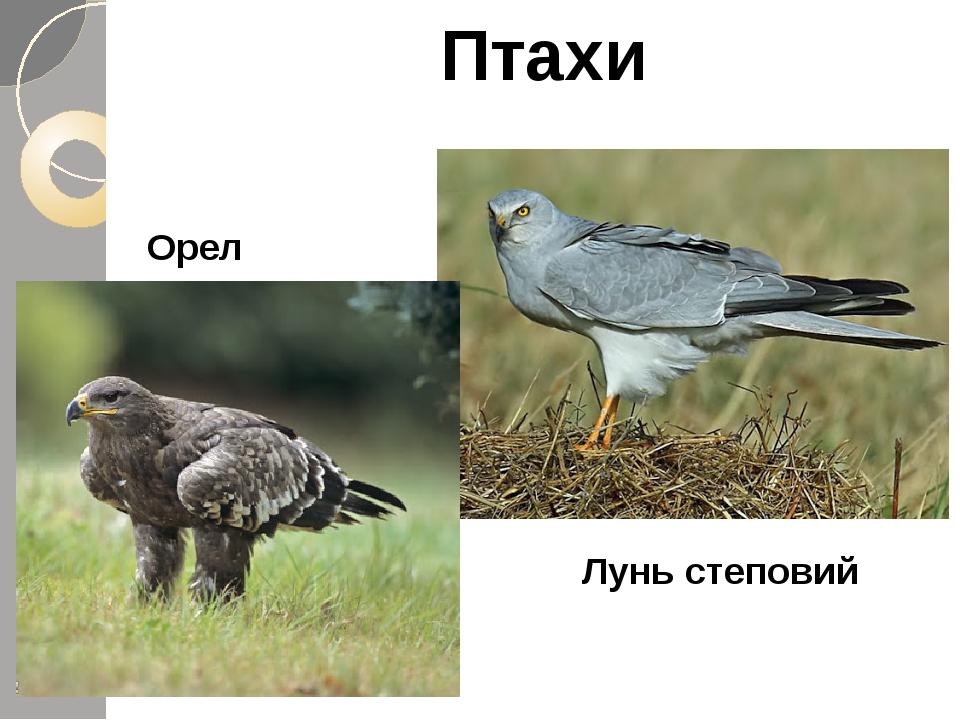 Птахи Орел Лунь степовий