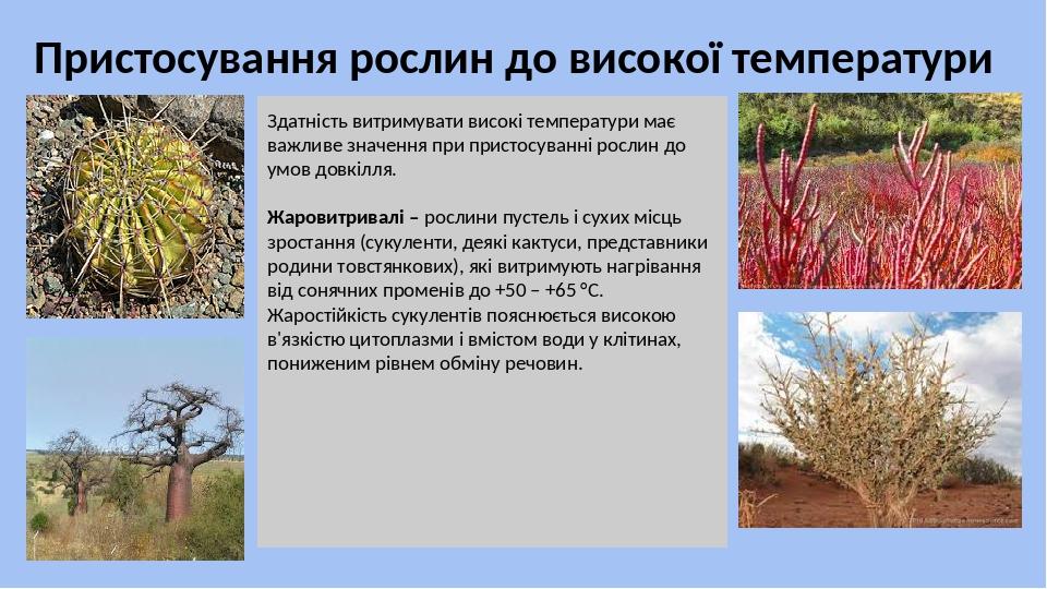 Пристосування рослин до високої температури Здатність витримувати високі температури має важливе значення при пристосуванні рослин до умов довкілля...