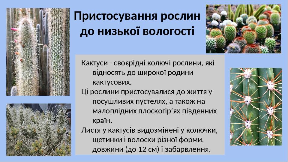 Кактуси - своєрідні колючі рослини, які відносять до широкої родини кактусових. Ці рослини пристосувалися до життя у посушливих пустелях, а також н...