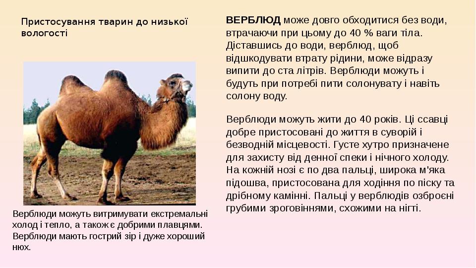 Пристосування тварин до низької вологості ВЕРБЛЮД може довго обходитися без води, втрачаючи при цьому до 40% ваги тіла. Діставшись до води, верблю...