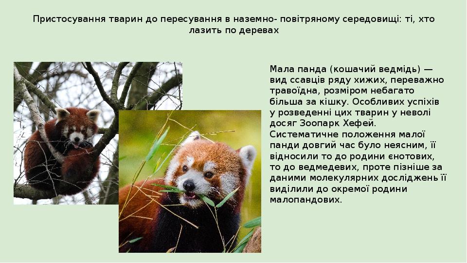 Пристосування тварин до пересування в наземно- повітряному середовищі: ті, хто лазить по деревах Мала панда (кошачий ведмідь) — вид ссавців ряду хи...